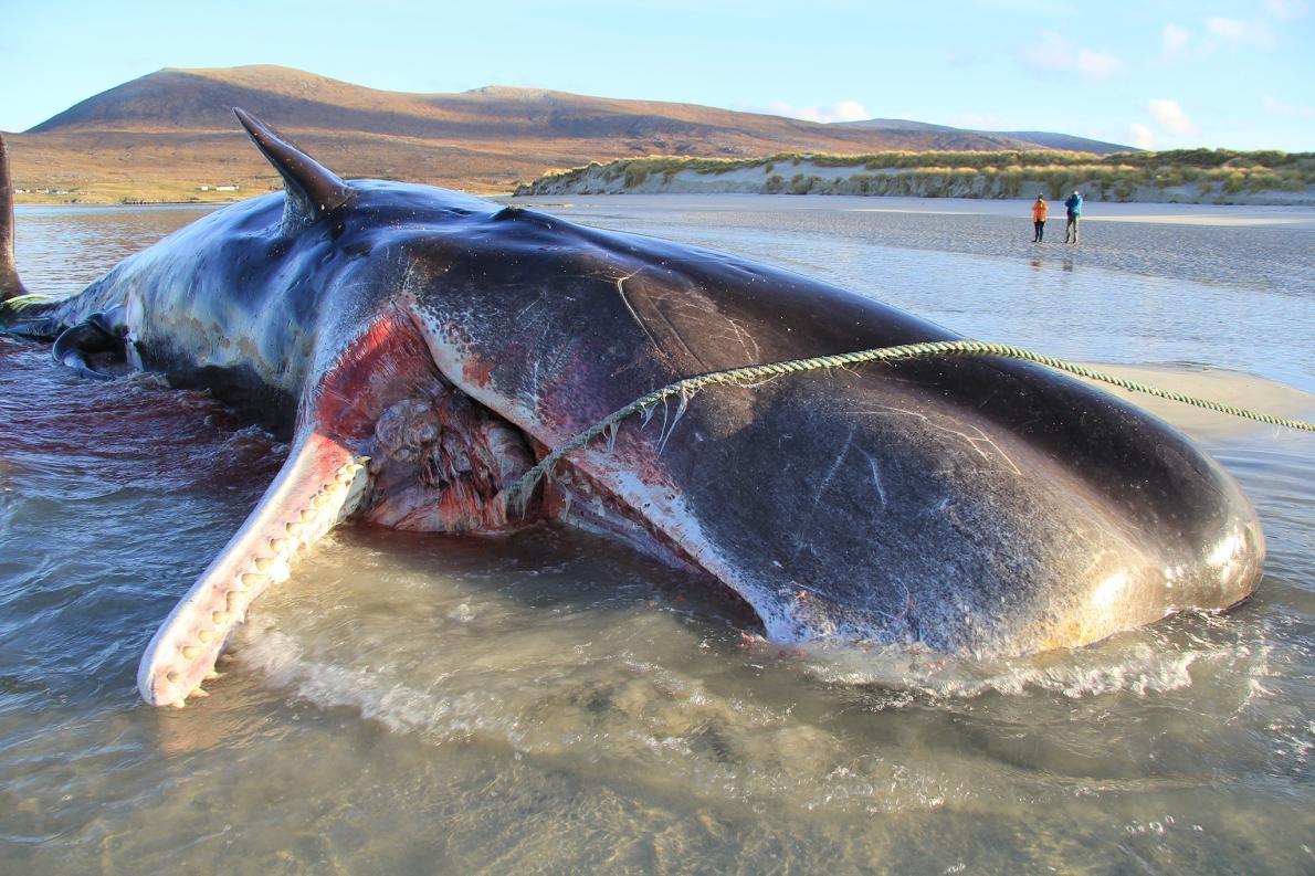 2019年11月,蘇格蘭哈里斯島(Isle of Harris)一處海灘上發現一頭死亡的年輕抹香鯨。解剖檢查發現牠的胃裡有約100公斤纏繞成團的垃圾。PHOTOGRAPH BY SCOTTISH MARINE ANIMAL STRANDING SCHEME