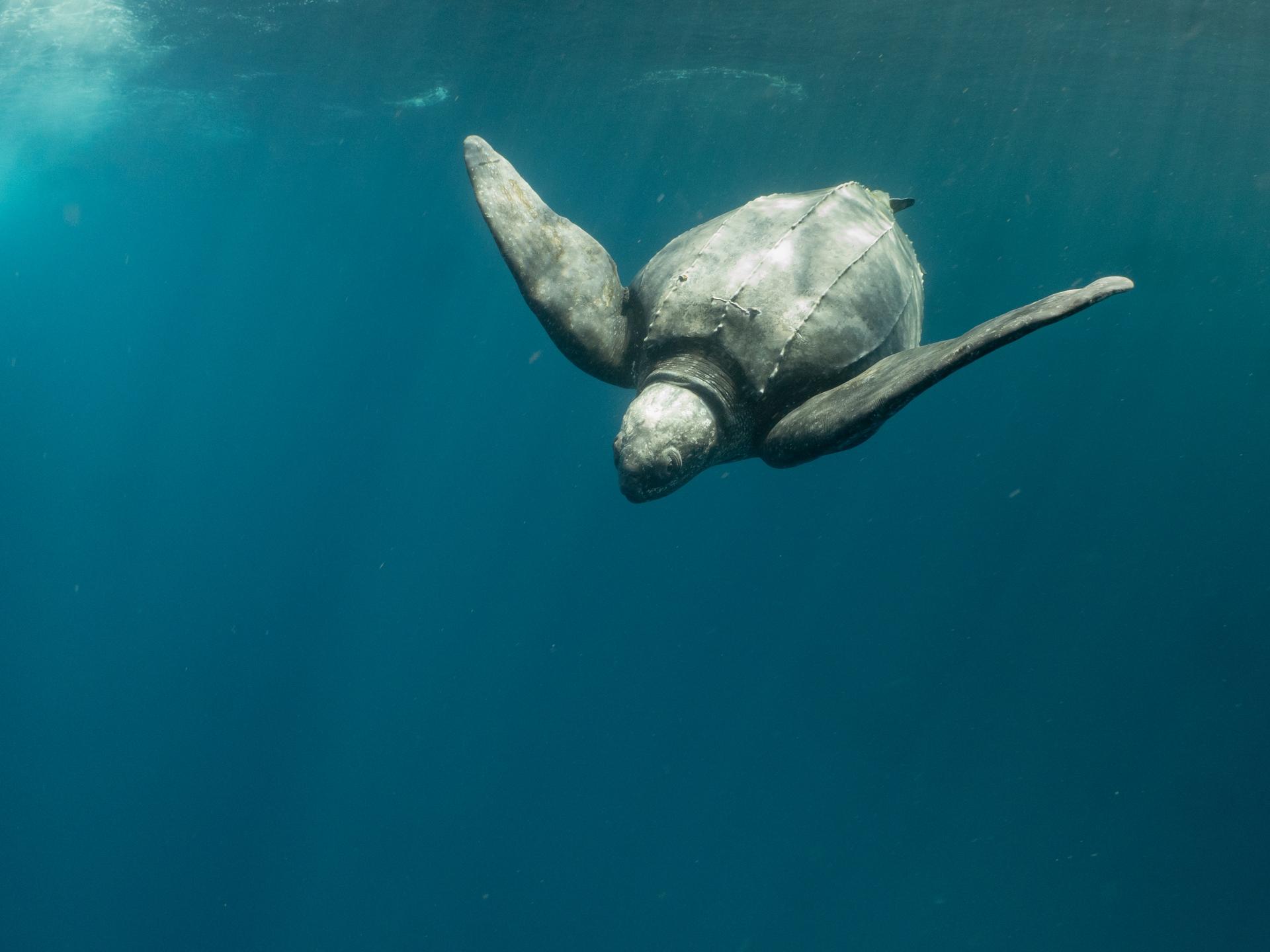 神祕的大革龜。攝影:蘇淮