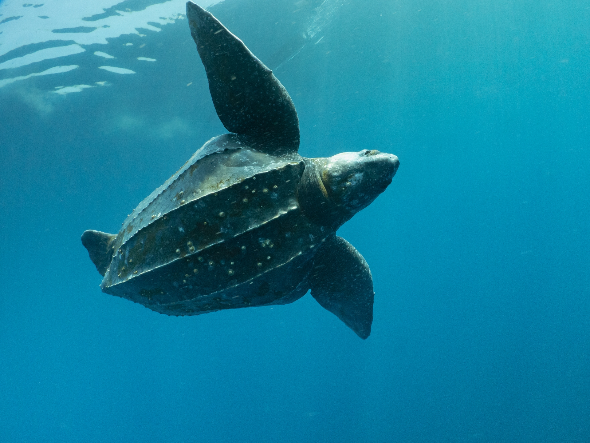 牠們還有一種可能有別於其他海龜的警戒行為,那就是上下顛倒,腹部朝天空。攝影:蘇淮