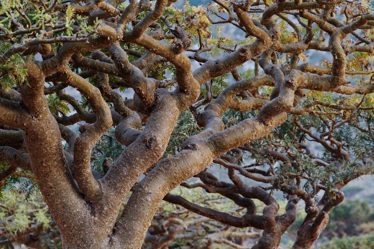 分布遍及北非、印度、阿曼和葉門的乳香樹正面臨著愈來愈大的壓力,主因是人類濫採這種樹的芬芳樹脂。PHOTOGRAPH BY MICHAEL MELFORD, NAT GEO IMAGE COLLECTION