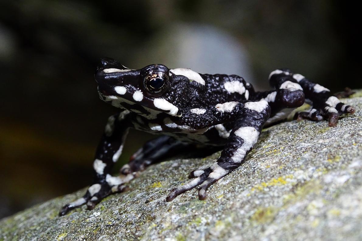 星夜斑蟾(Atelopus aryescue)得名於牠們在哥倫比亞山區棲地的星空。PHOTOGRAPH COURTESY FUNDACION ATELOPUS