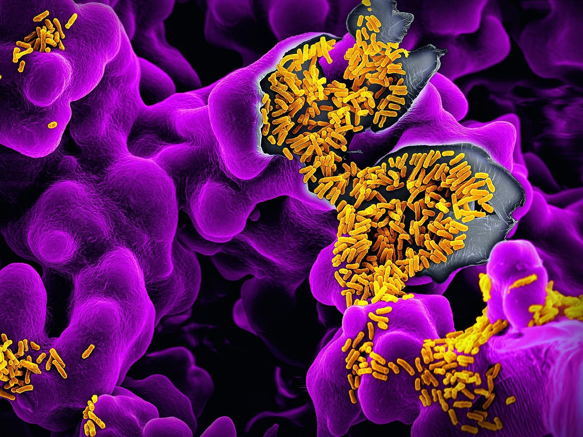 聚集在紫色基質上的黃色短棒狀大腸桿菌(Escheri-chia coli)可造成食物中毒,但多數菌株不僅無害而且還有益。大腸桿菌棲息於人類腸道,負責重要功能,像是製造維生素K和B12,以及防止致病性細菌的生長。影像:馬汀.奧格利 MARTIN OEGGERLI