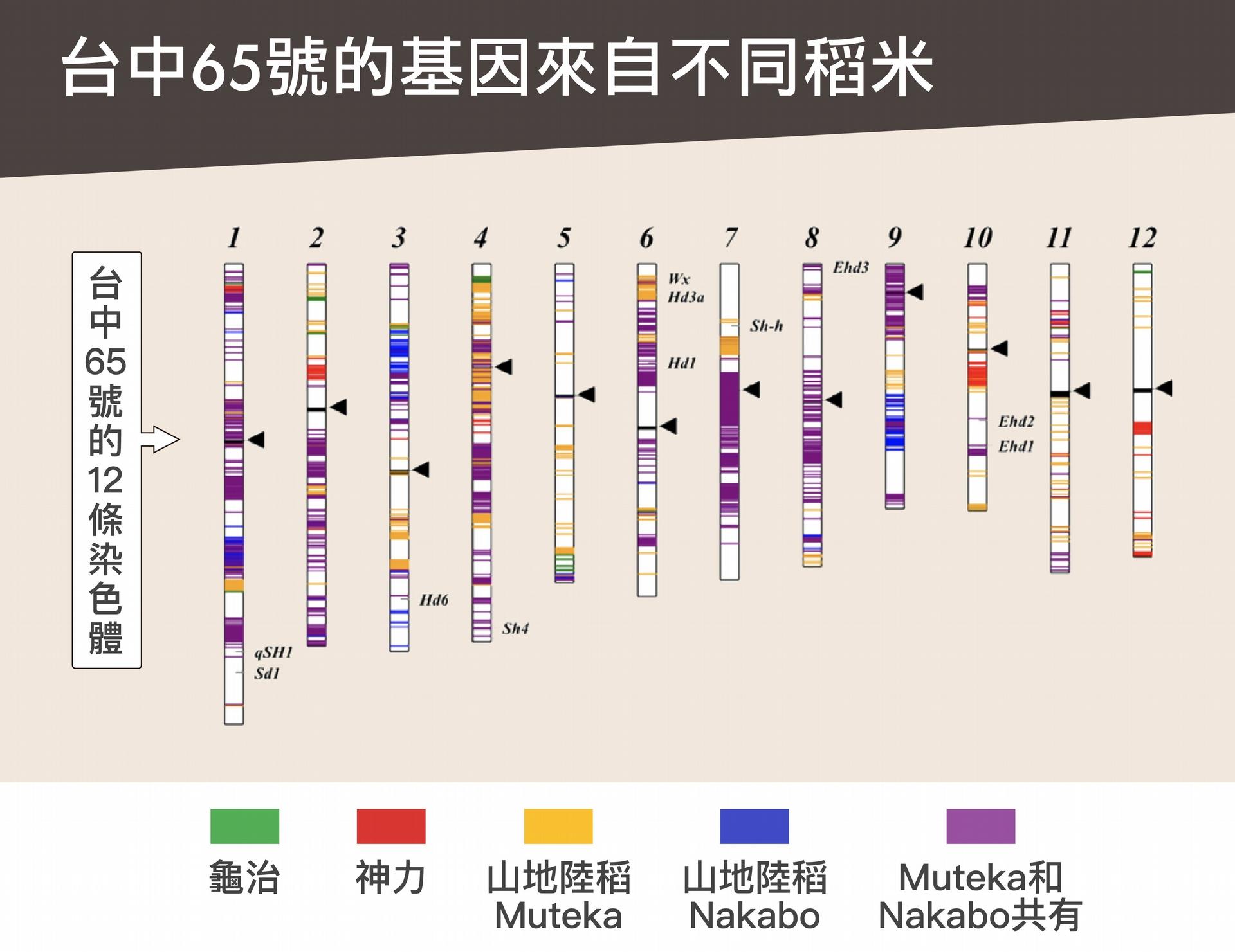 透過基因定序分析發現,臺中 65 號其實帶有四種品種的基因:龜治、神力、山地陸稻 Muteka 和 Nakabo。 <br>資料來源│邢禹依