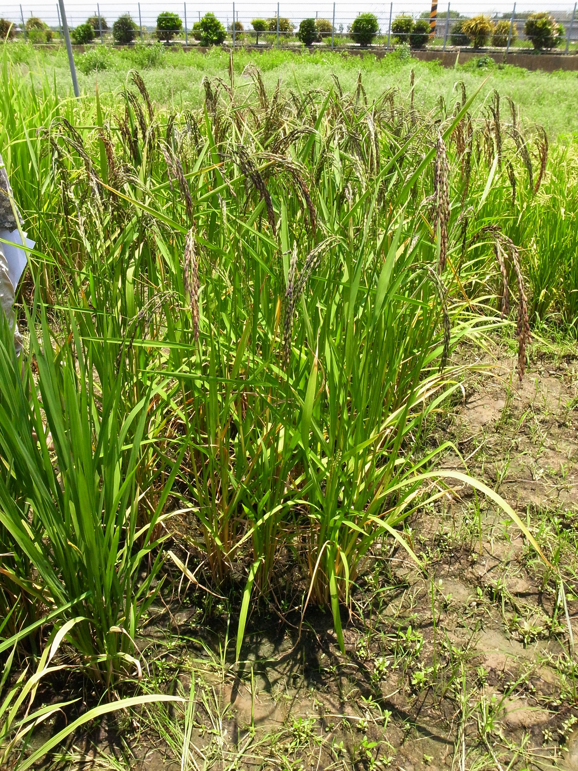 圖為山地陸稻。陸稻和水稻都是亞洲栽培稻 (Oryza sativa),只是種在水田的叫水稻,種植在旱地的就是陸稻了。 <br>圖片來源│邢禹依