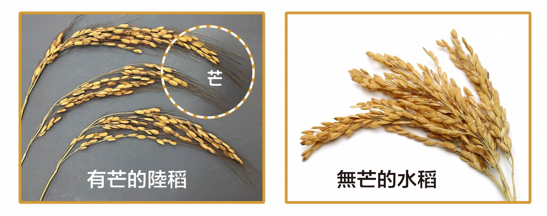有芒的陸稻 (左圖) 與無芒的水稻 (右圖)。什麼是馴化?人類以稻米為糧食,會選擇顆粒大的、產量多的、方便採收的稻子,久而久之,稻子的性狀就會被馴化–趨向於人類所喜好的特性,像是米粒變得大而飽滿、穀粒不具有芒、不容易落粒、植株直立而不倒伏等等。野生陸稻多有稻芒,主要的功用是防止鳥兒啄食稻穀,還可幫助穀粒落地或附著在動物身上,以便傳播。不過,有芒的稻子收割和儲藏就不方便了。我們現在栽種的水稻,經過長期的馴化,穀粒上都沒有「芒」了。 <br>攝影│林洵安 (左圖) <br>圖片來源│iStock (右圖)