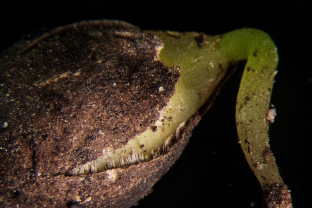 1969年一份關於紐西蘭離島保育狀況報告作出的結論是,長在馬納瓦塔希島上的這棵唯一的凱科瑪寇木「勢必會滅絕」。當科學家羅斯.畢佛與苗圃主人傑夫.戴維森成功地培育出六棵樹、並結出數千顆像這樣的種子(此為放大影像)時,也改寫這了這種命運。PHOTOGRAPH BY BRADLEY WHITE, MANAAKI WHENUA
