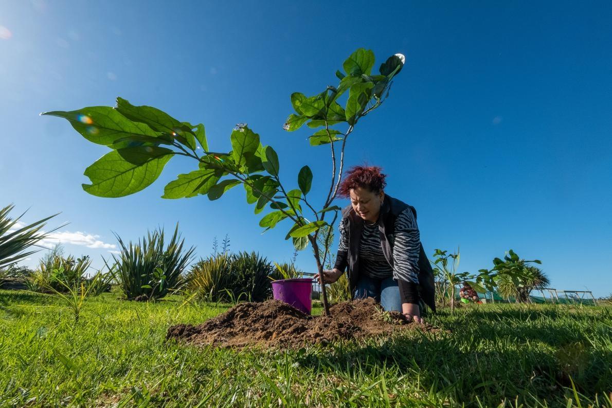 薛莉登.懷泰(Sheridan Waitai)正在幫一棵凱科瑪寇幼苗澆水,她和其他納提庫里部族成員種下了80棵樹苗,這是其中一棵。這個在地毛利部族負責守護生長著唯一一棵野生三王凱科瑪寇木的島嶼。納提庫里部族持續和科學家合作,以深入了解這個物種,並規劃復育計畫。PHOTOGRAPH BY BRADLEY WHITE, MANAAKI WHENUA
