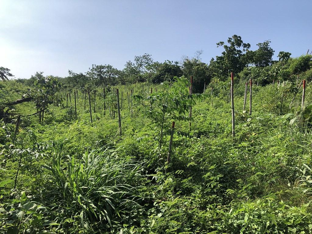 大坪頂造林地上,土壤種子庫長出來的、造林的原生樹種逐漸茁壯,地表草相盎然,十分熱鬧;屏東處委託團隊每半年即進行草相調查,保留原生草種。攝影:廖靜蕙
