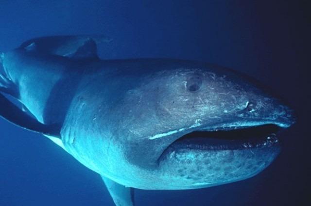 全球巨口鯊(Megachasma pelagios)族群資料,過半在臺灣發現。作者:FLMNH Ichtyology;圖片來源:維基百科(CC BY-SA 4.0)