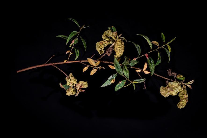 玻璃造的枝條展示了因外囊菌(Taphrina )而枯萎的葉子,也稱為縮葉病(peach leaf curl)。PHOTOGRAPH BY JENNIFER BERGLUND, THE WARE COLLECTION OF BLASCHKA GLASS MODELS OF PLANTS, HARVARD UNIVERSITY HERBARIA/HARVARD MUSEUM OF NATURAL HISTORY
