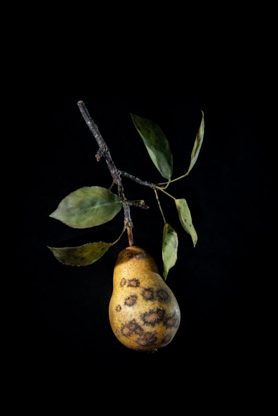 感染黑星病(pear scab)的梨子玻璃模型。PHOTOGRAPH BY JENNIFER BERGLUND, THE WARE COLLECTION OF BLASCHKA GLASS MODELS OF PLANTS, HARVARD UNIVERSITY HERBARIA/HARVARD MUSEUM OF NATURAL HISTORY