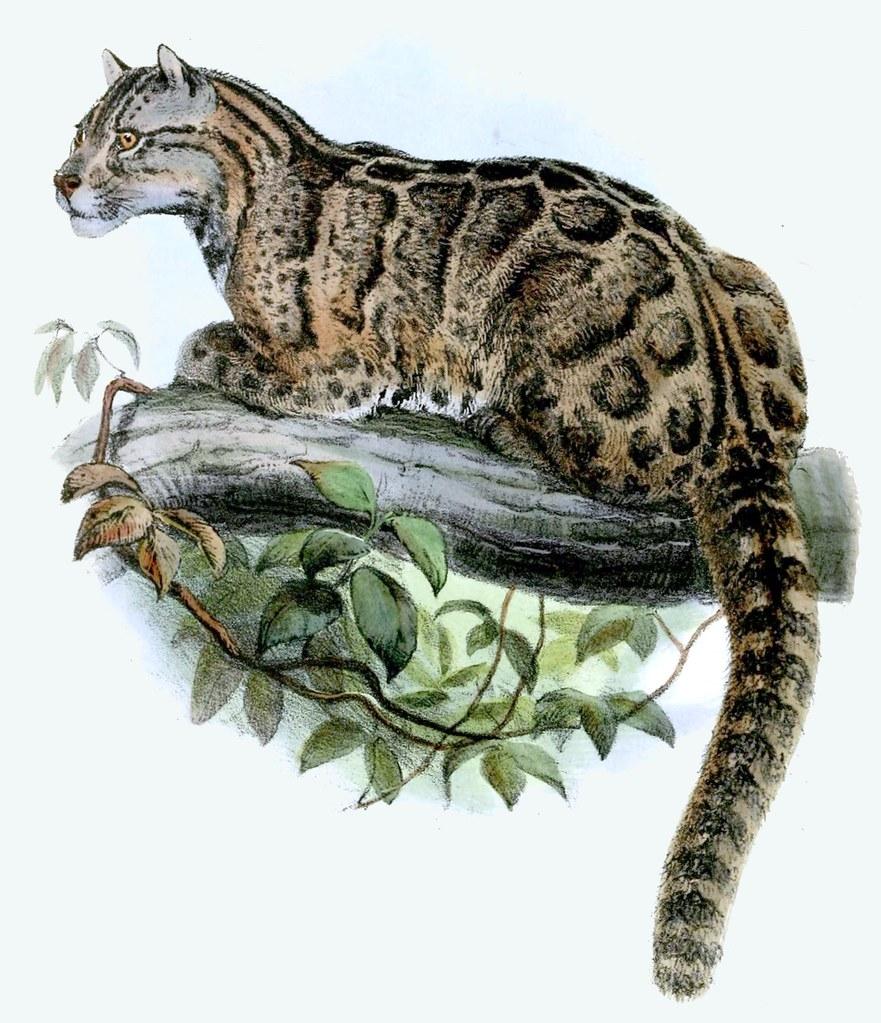 雲豹是魯凱族守護山林的夥伴。作者:Joseph Wolf。