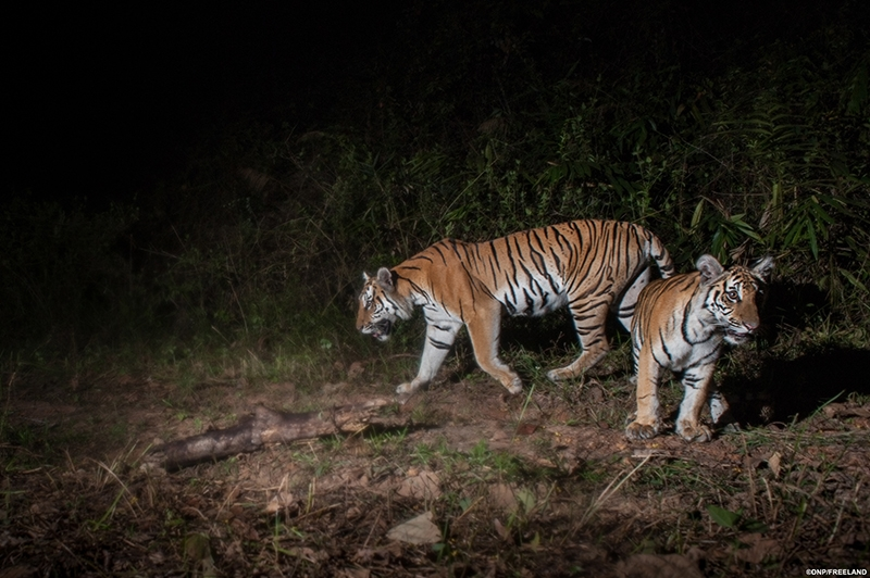 潘特拉協助復育印度和尼泊爾的野生老虎族群,至今數量已成長2倍。圖片來源:Panthera.org