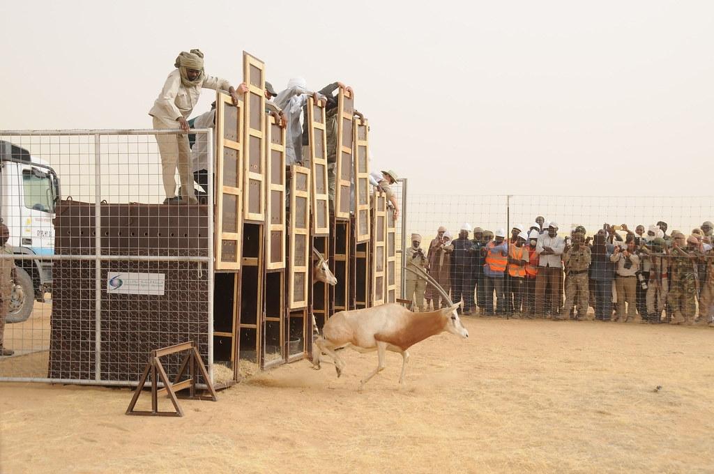 保育團體協助查德野放復育彎角劍羚,讓當地居民找回認同和文化。圖片來源:Smithsonian's National Zoo(CC BY-NC-ND 2.0)