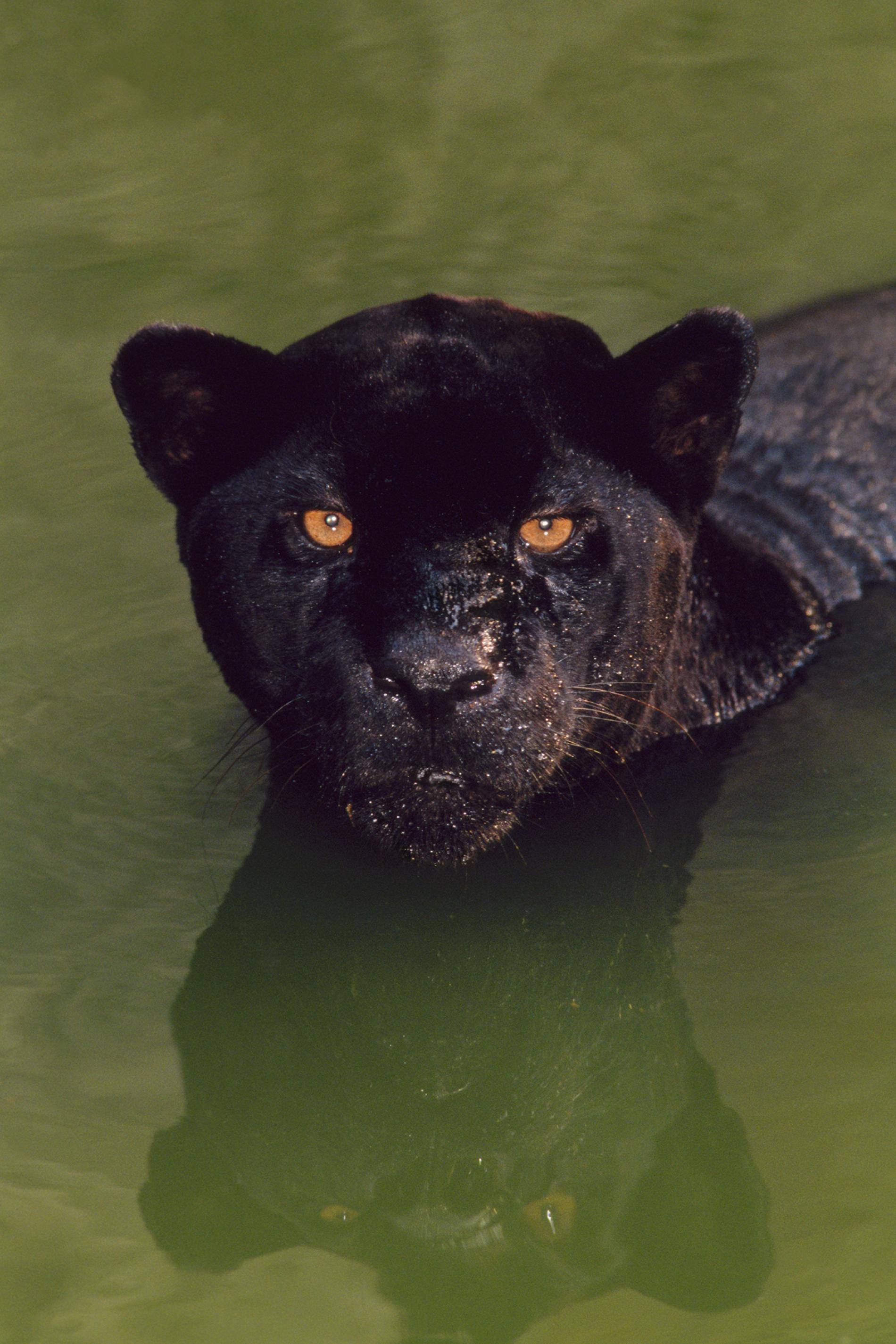 一隻黑色美洲豹在巴西游泳。「黑豹」(black panther)這個專有名詞是一個概括性術語,涵蓋了14種會有黑化症的野生貓科物種。PHOTOGRAPH BY FRANS LANTING, NAT GEO IMAGE COLLECTION