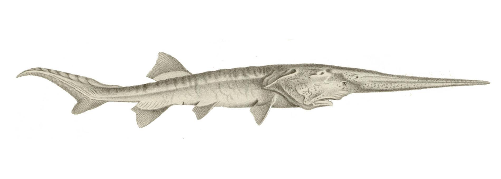 白鱘長著像劍一般的長喙,這個像吻的構造上長滿了特殊的細胞,可偵測如甲殼動物之類獵物的電子活動。白鱘的分布範圍很廣,距離遍及整個長江流域盆地的廣闊範圍,甚至還會一路游到東海。PHOTOGRAPH BY FLHC1, ALAMY