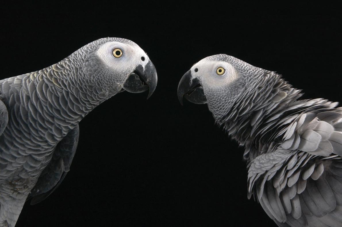 非洲灰鸚鵡是社會關係最複雜的鳥類之一,也由於「能言善道」成為熱門寵物。PHOTOGRAPH BY JOEL SARTORE, NATIONAL GEOGRAPHIC PHOTO ARK