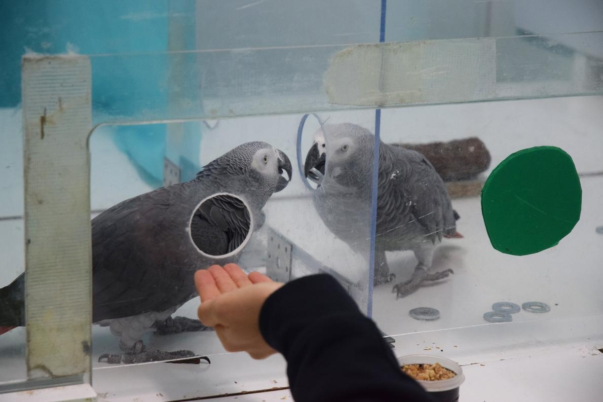 非洲灰鸚鵡尼基(Nikki)與傑克(Jack)在實驗期間交換代幣。PHOTOGRAPH BY ANASTASIA KRASHENINNIKOVA