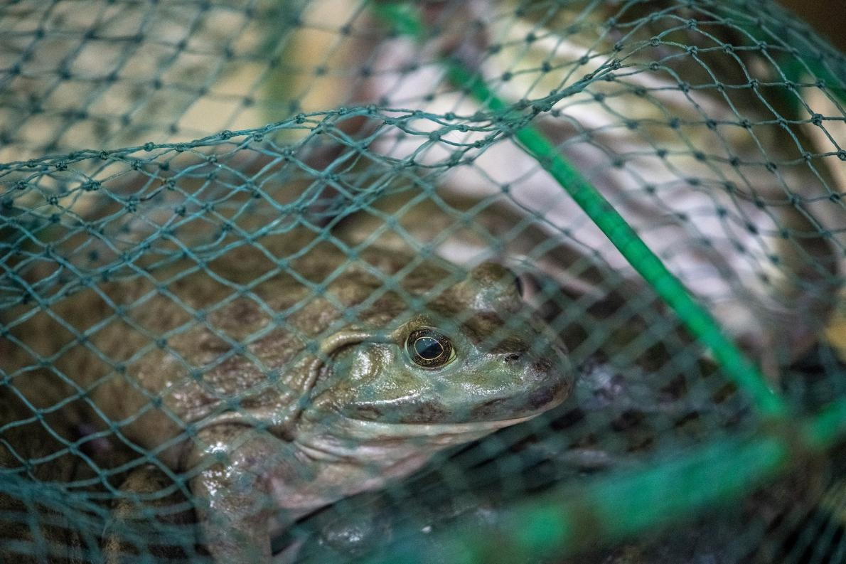 活蛙於1月26日上海一處市場出售,當天中國政府宣布在冠狀病毒危機期間禁止國內的活體動物交易。PHOTOGRAPH BY EDWIN REMSBERG, VWPICS/AP