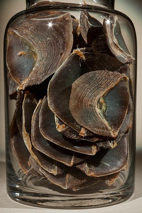 穿山甲鱗片用於傳統中藥的需求已經使穿山甲成為全世界走私最嚴重的非人哺乳類。PHOTOGRAPH BY FRITZ HOFFMANN, NAT GEO IMAGE COLLECTION