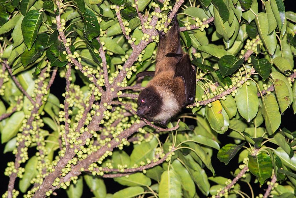 臺灣狐蝠曾一度以為消失於本島,2018年重啟調查,就在花蓮市有穩定的族群。攝影:鄭錫奇