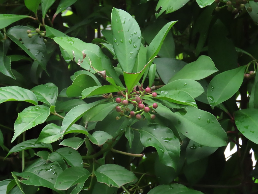 以花朵、花粉、花蜜、果實與樹葉為主食的臺灣狐蝠,又有果蝠之稱,是素食者更是傳花授粉好手。攝影:廖靜蕙