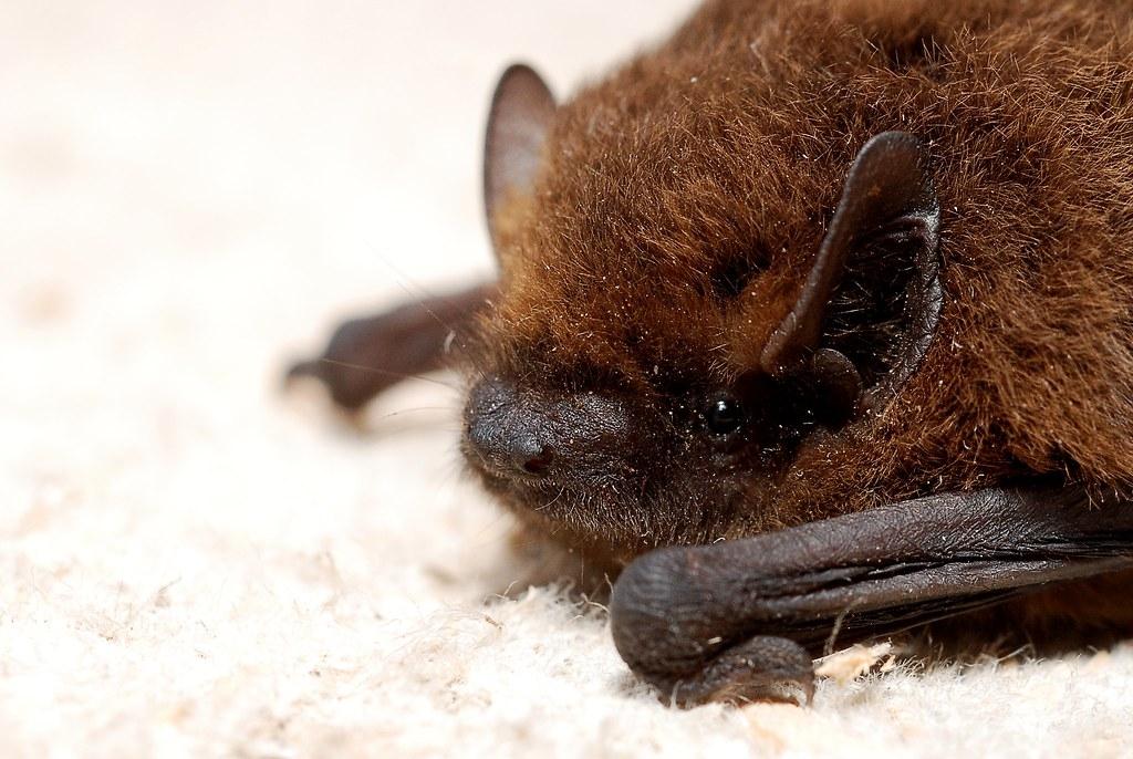 近五年的監測顯示,未從臺灣原生蝙蝠體內發現人畜共通的冠狀病毒。圖片來源:Gilles San Martin(CC BY-SA 2.0)