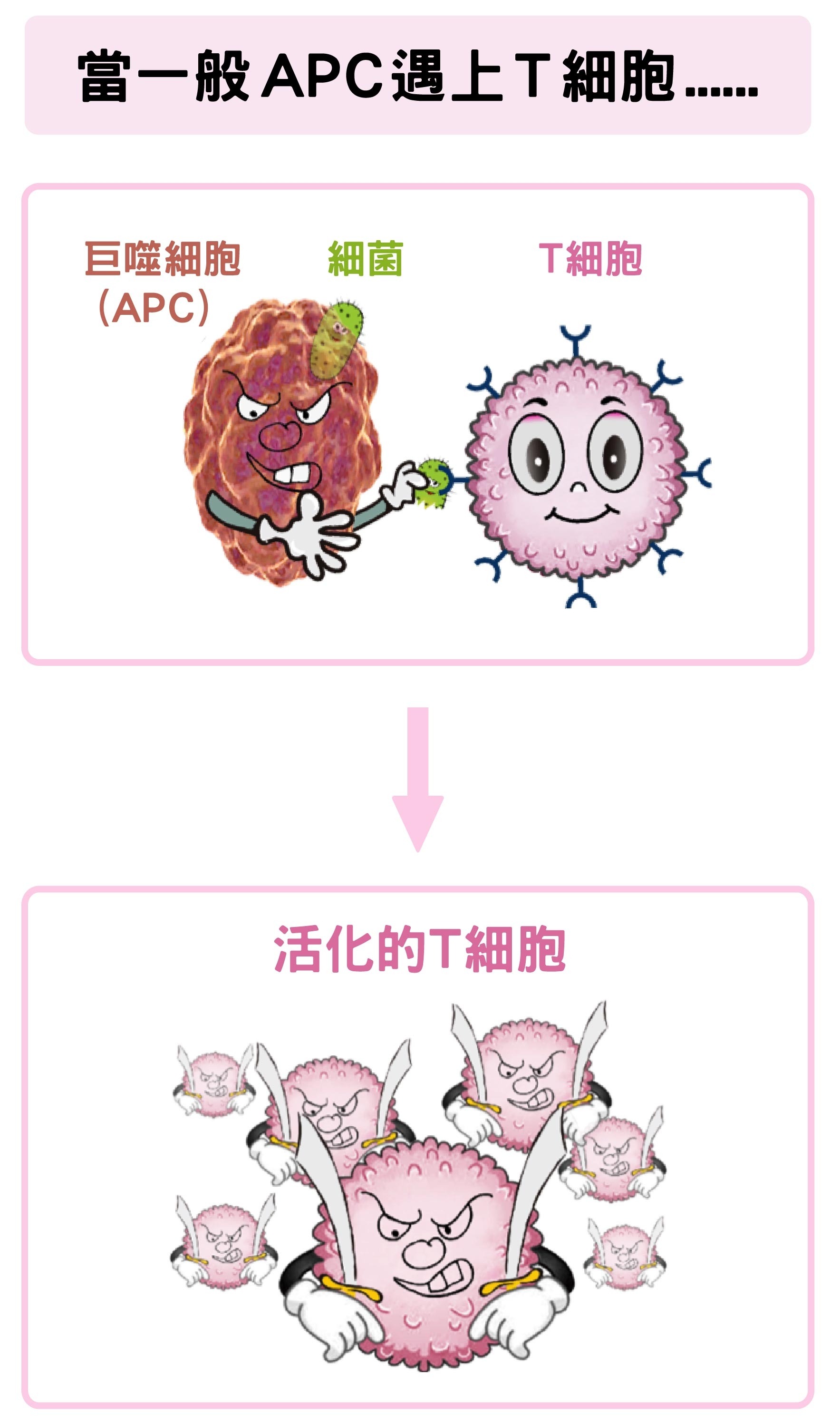 巨噬細胞(APC)吞噬細菌後,可活化T細胞。 <br>資料來源│陶秘華 圖說原作│張峰碧 <br>圖說美化│林洵安