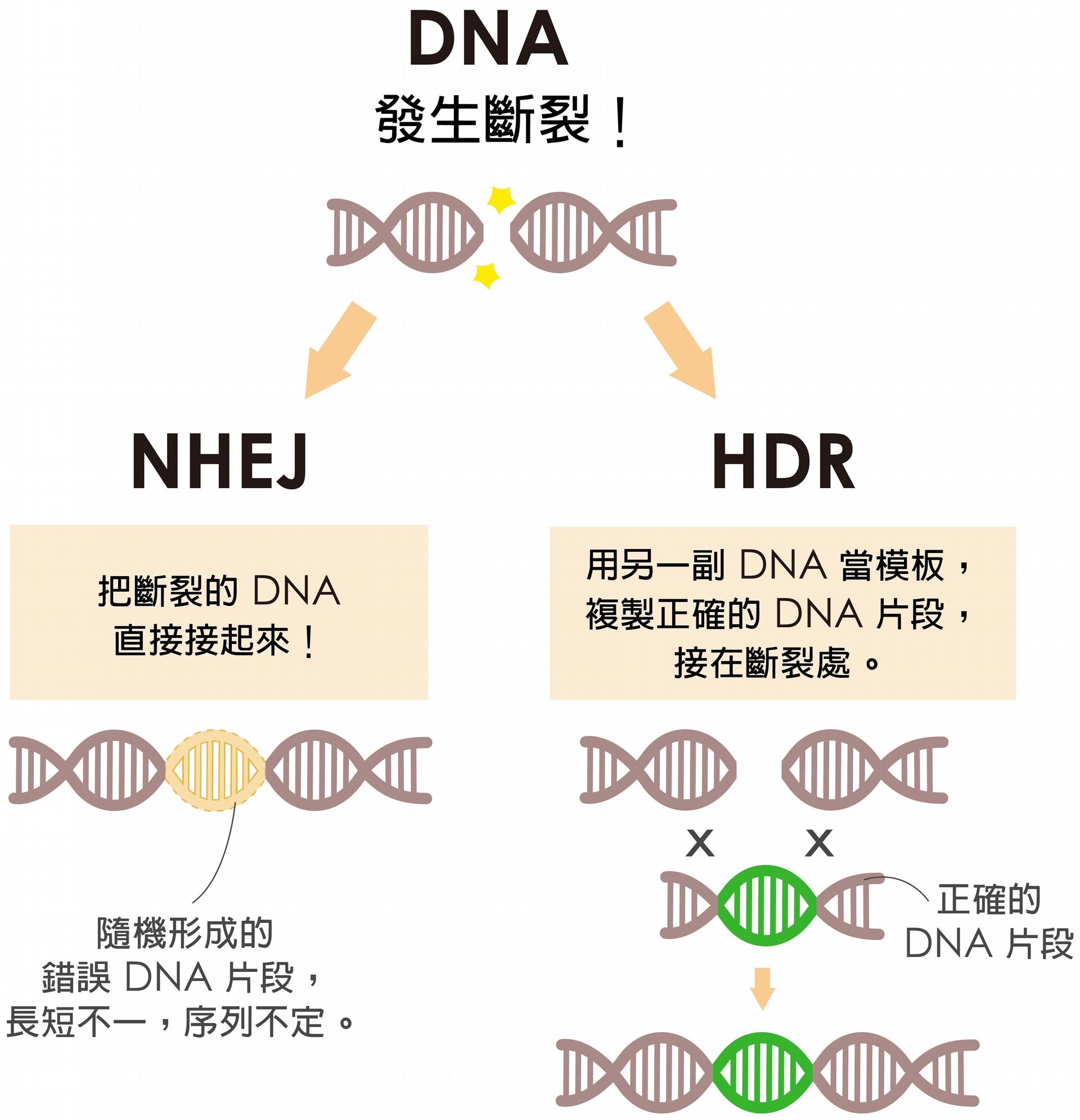 細胞修復 DNA 有兩條路,NHEJ 是直接把斷裂處接起來,HDR 是拿另一副 DNA 做模板複製正確的 DNA 片段,接在斷裂處。當細胞選擇走 HDR,才有可能接受外界送入的正確基因。 圖說設計│黃曉君、林洵安 資料來源│凌嘉鴻