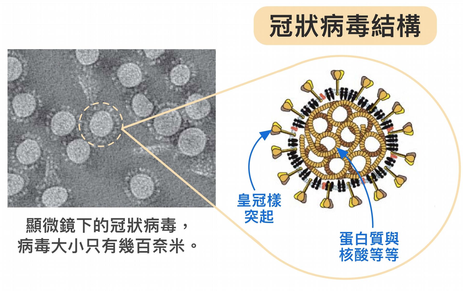 冠狀病毒體型不但非常微小,只有幾百奈米,外表為薄殼,具有特殊皇冠樣突起,內部中空,裝著密度高的蛋白質、基因等。病毒藉由宛如超迷你戰艦的構造,將蛋白質、核酸送入人體並綁架細胞。要是將病毒的成分全部拆解、變成單一的核酸或蛋白質等,威力不會這麼強大。 <br>圖片來源│胡哲銘 <br>圖說美化│林洵安