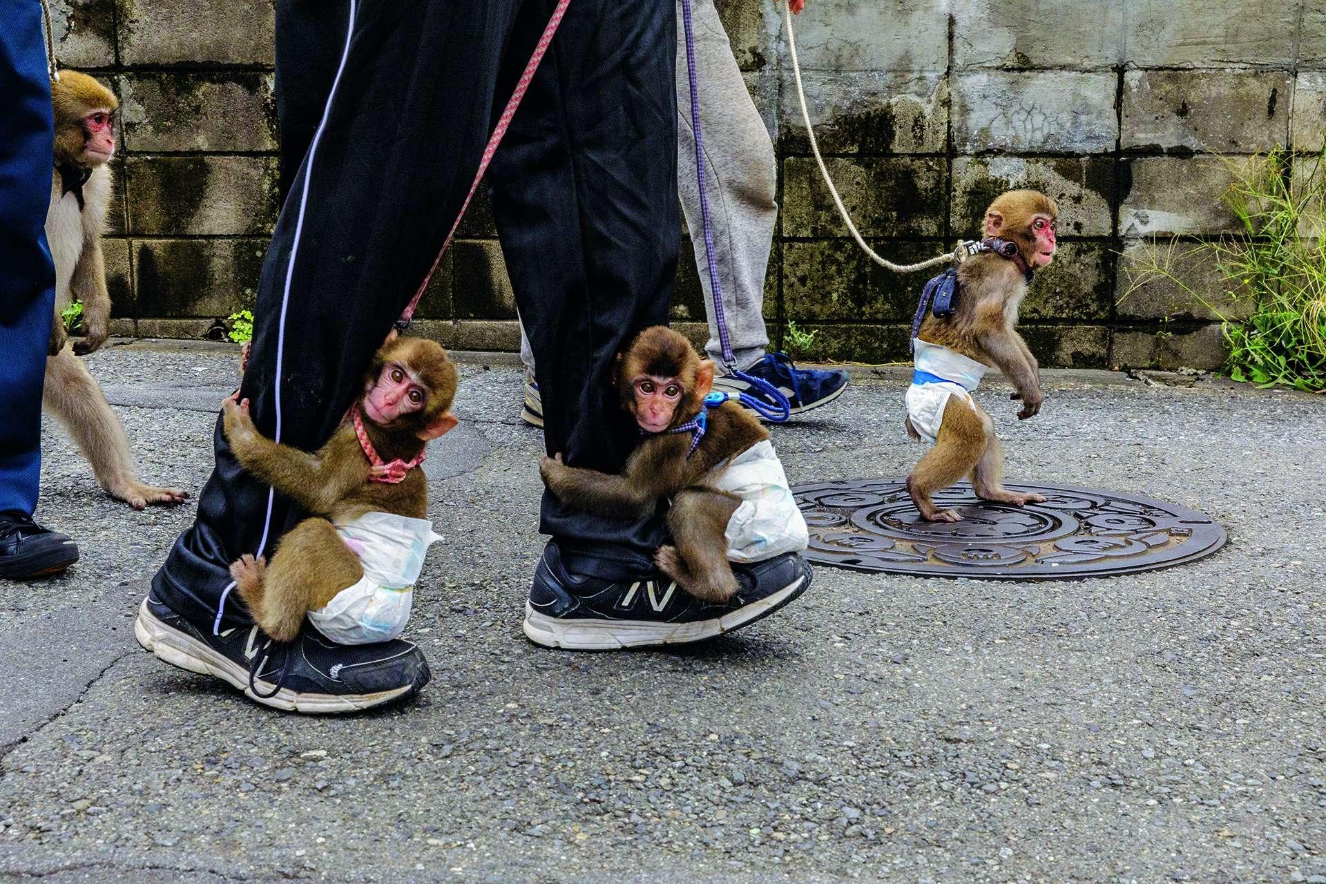 川崎市表演團體「戰豆的猴戲」的馴猴師每天都帶著他們負責照顧、包著尿布的猴子去街上散步。在猴戲訓練的早期階段,幼猴會學習坐在小凳子上,再慢慢學習踩高蹺與跳過障礙物。攝影: 賈斯博. 杜斯特 JASPER DOEST
