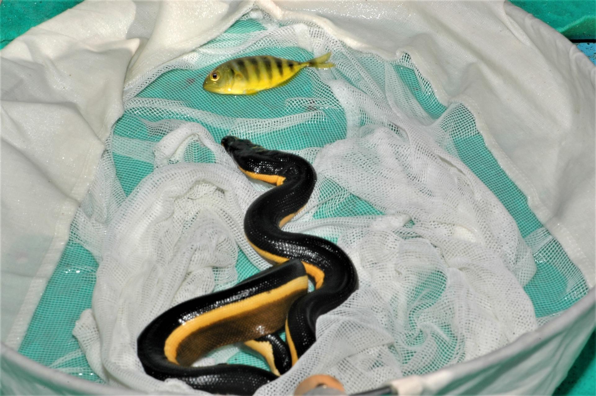從海面上撈起黑背海蛇時常會撈起躲在牠們身下的小魚。攝影:杜銘章