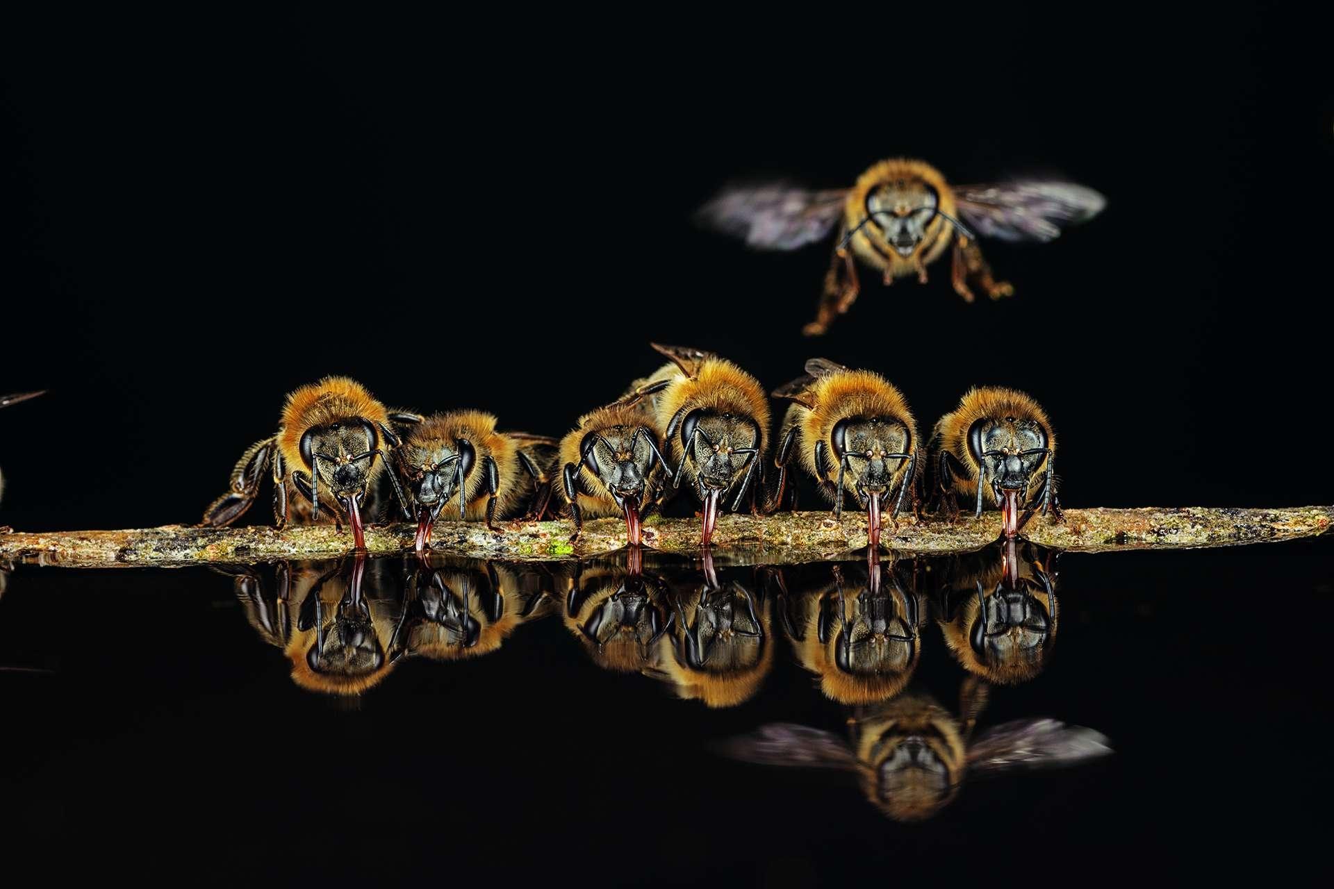 德國蘭根鎮的西方蜜蜂會用管狀的舌頭吸水帶回蜂巢,並用這些水控制蜂巢的溫度。攝影: 英戈. 阿恩特 INGO ARNDT