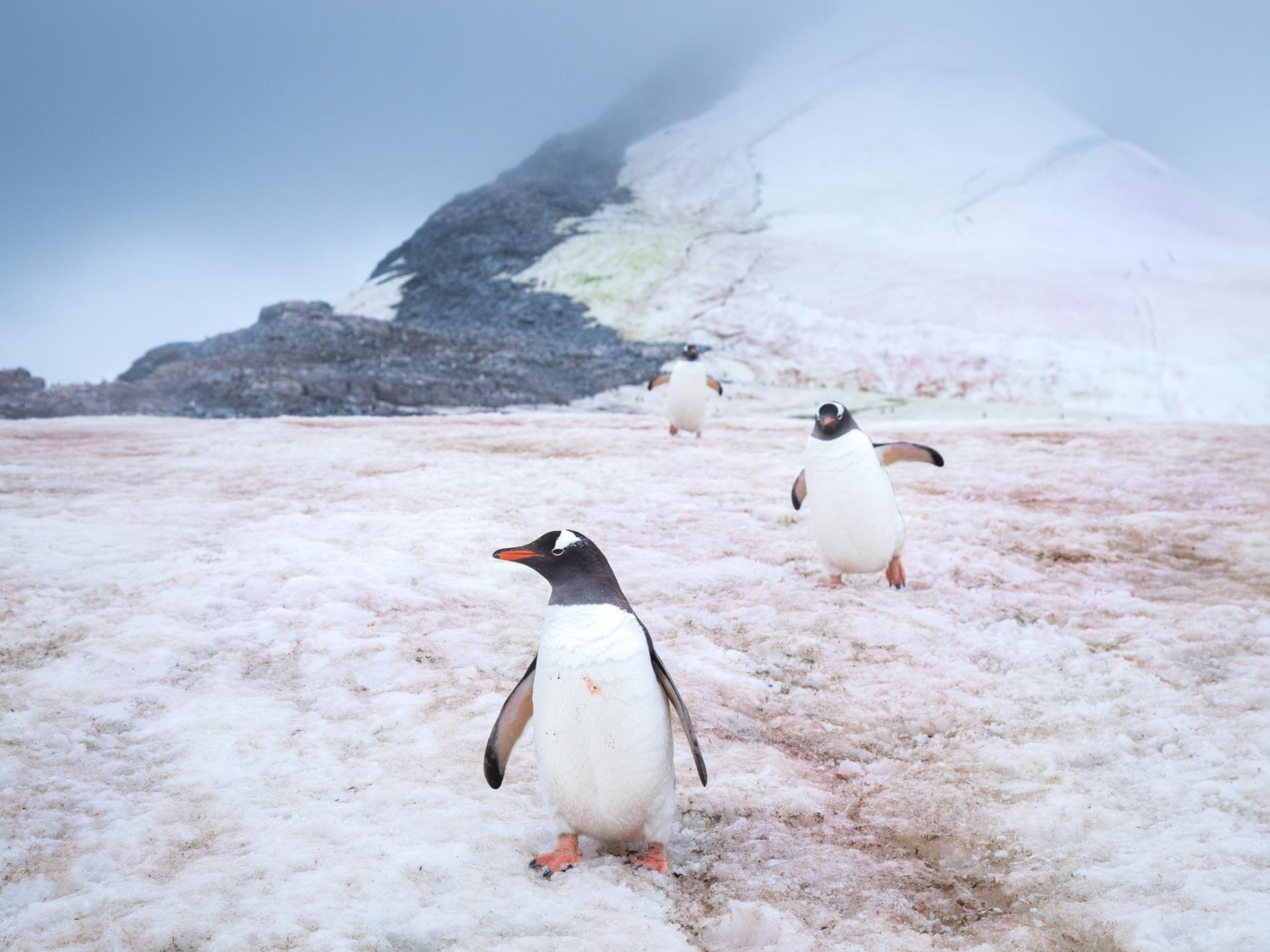 極地冰層變粉紅色,加快融冰速度!