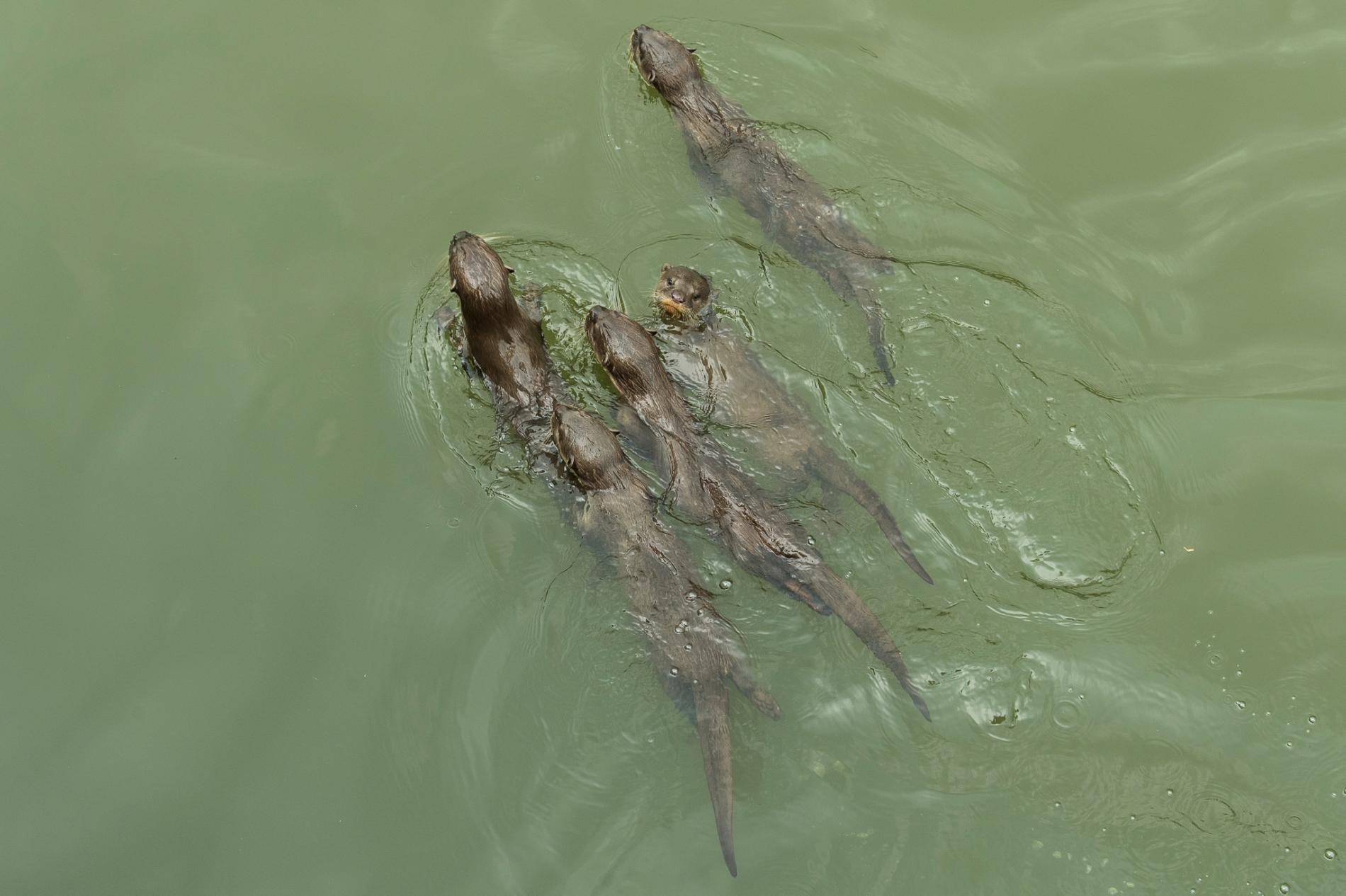 碧山家族只有幾個月大的小水獺,游在牠們親戚的身後尋找魚。PHOTOGRAPH BY STEFANO UNTERTHINER