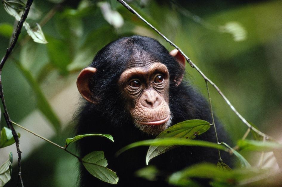 黑猩猩被觀察到會攻擊並驅除看起來明顯生病的同類。PHOTOGRAPH BY MICHAEL NICHOLS, NAT GEO IMAGE COLLECTION
