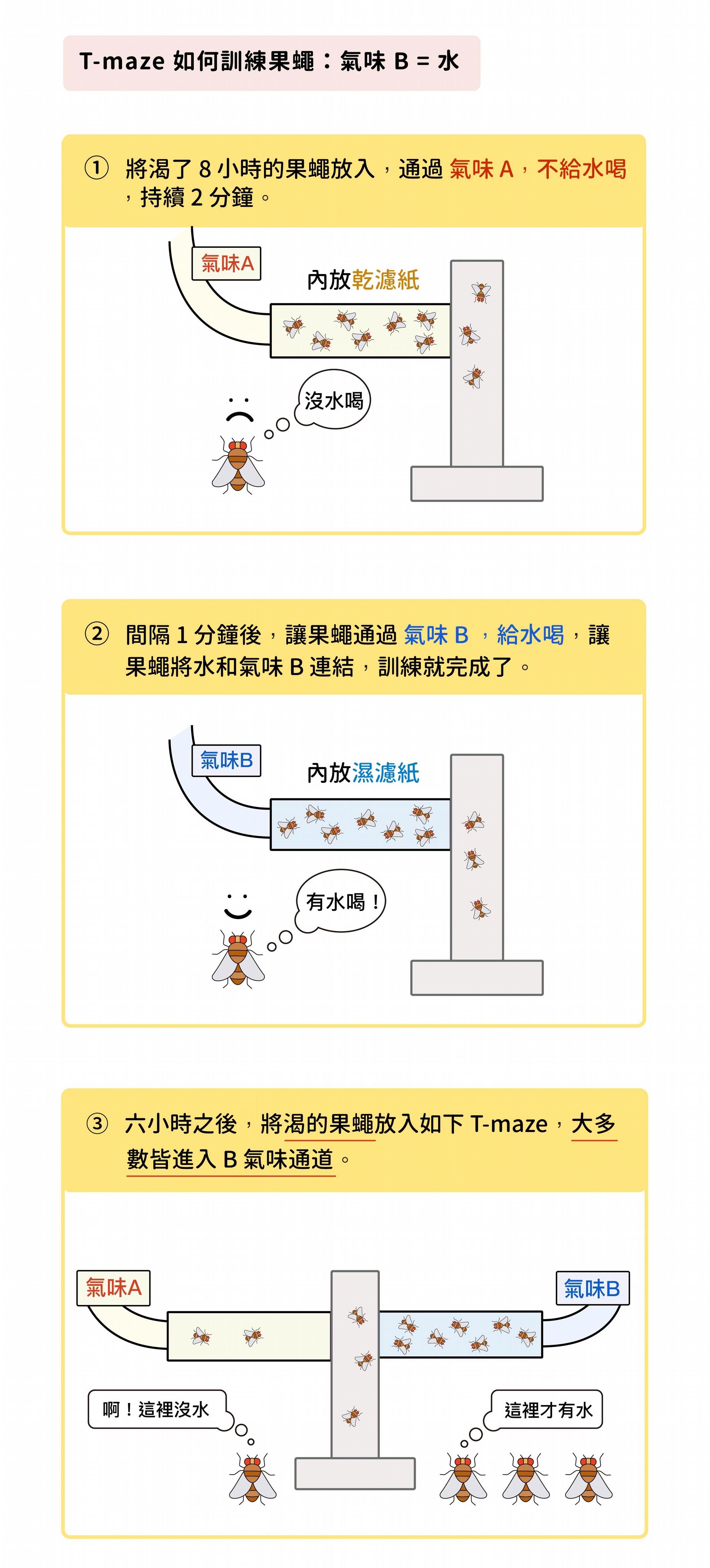研究員運用一種 T 字狀迷宮「T-maze」,先讓果蠅渴 8 個小時,然後進入 T-maze ,通入氣味 A、不給水 (放置乾燥的濾紙),持續 2 分鐘。間隔 1 分鐘後,再通入氣味 B 、給水喝 (放置潮濕的濾紙),持續 2 分鐘,訓練果蠅將氣味 B 與水連結起來,訓練就完成了。訓練完成 6 小時之後,將渴的果蠅放入 T-maze,大多數乖乖進入 B 氣味通道。 資料來源│林書葦 圖說設計│黃曉君、林洵安