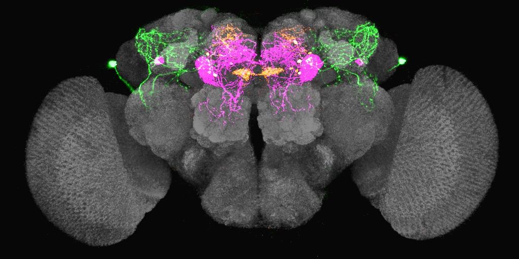 果蠅腦中的渴迴路。當果蠅口渴的時候,LHLK 神經元 (綠色) 會釋放 leucokinin,抑制 PPL1-γ2α′1 (洋紅色) 和 PAM-β′2a (橘黃色) 神經元,讓果蠅產生覓水行為。 圖片來源│林書葦