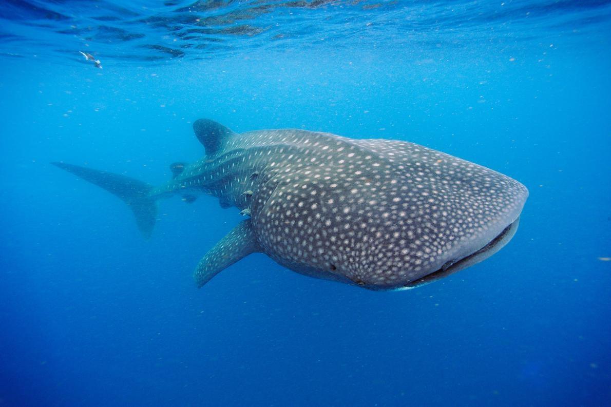 一隻鯨鯊在猶加敦半島(Yucatán Peninsula)外海泅泳。這些海中巨獸體重可達22.5公噸。PHOTOGRAPH BY BRIAN J. SKERRY, NAT GEO IMAGE COLLECTION