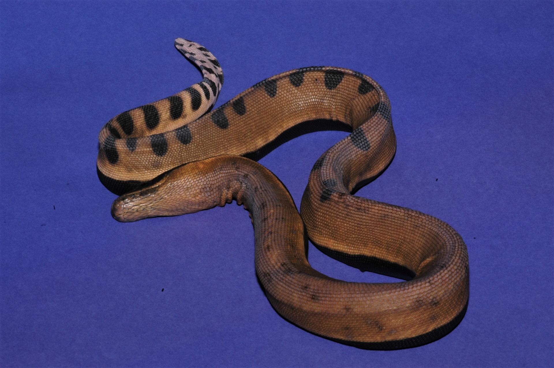 黑背海蛇的腹鱗已經小到難以和旁邊的體鱗區隔。攝影:杜銘章