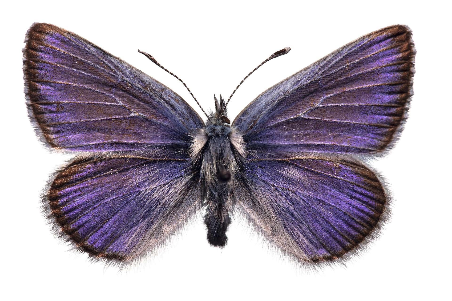 最後一次有人看見寬3公分的瑟西思藍小灰蝶,是大約80年前在舊金山附近的沙丘。有些科學家擔憂,牠的滅絕可能預示了全球昆蟲的大量死亡。 PRESERVED SPECIMEN PHOTOGRAPHED AT CALIFORNIA ACADEMY OF SCIENCES