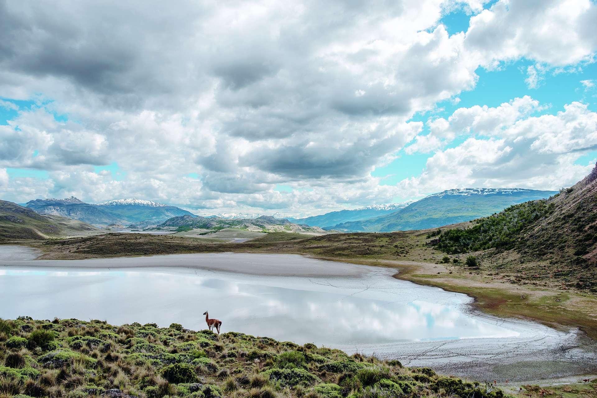 一隻原駝來到智利巴塔哥尼亞國家公園的塞卡潟湖喝水,這種動物就是駱馬的野生原型。巴塔哥尼亞國家公園占地30萬公頃,結合了公有土地與湯普金斯保育基金會捐出的私人土地。 PHOTO: TOMÁS MUNITA
