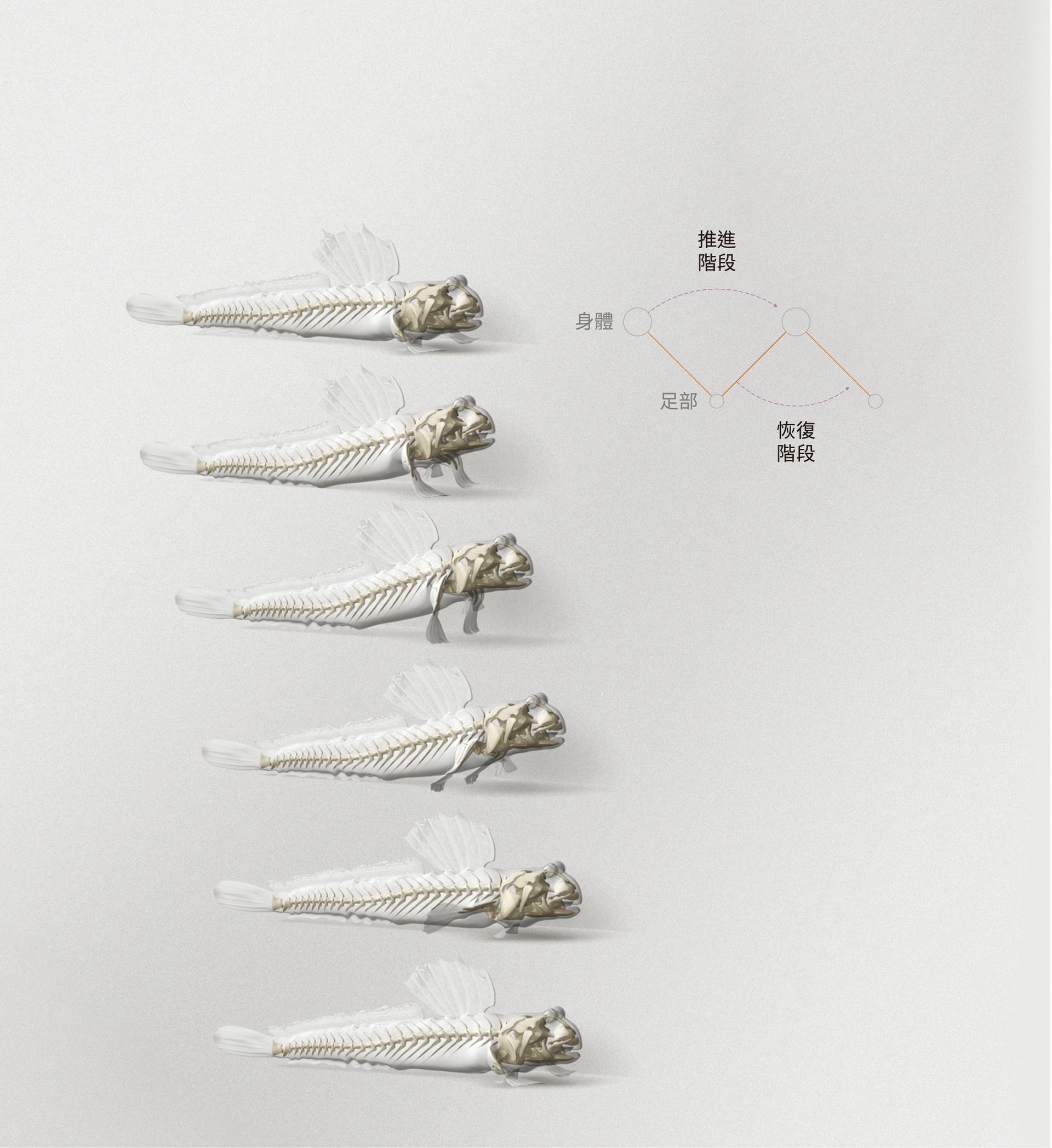 細彈塗魚(Periophthalmus gracilis) 這種彈塗魚不像牠的名字那麼優雅(編按:原文直譯為優美彈塗魚),牠會利用胸鰭在陸地上扭擺前行,以這種類似於撐拐杖的方式移動。 (BRYAN CHRISTIE DESIGN)