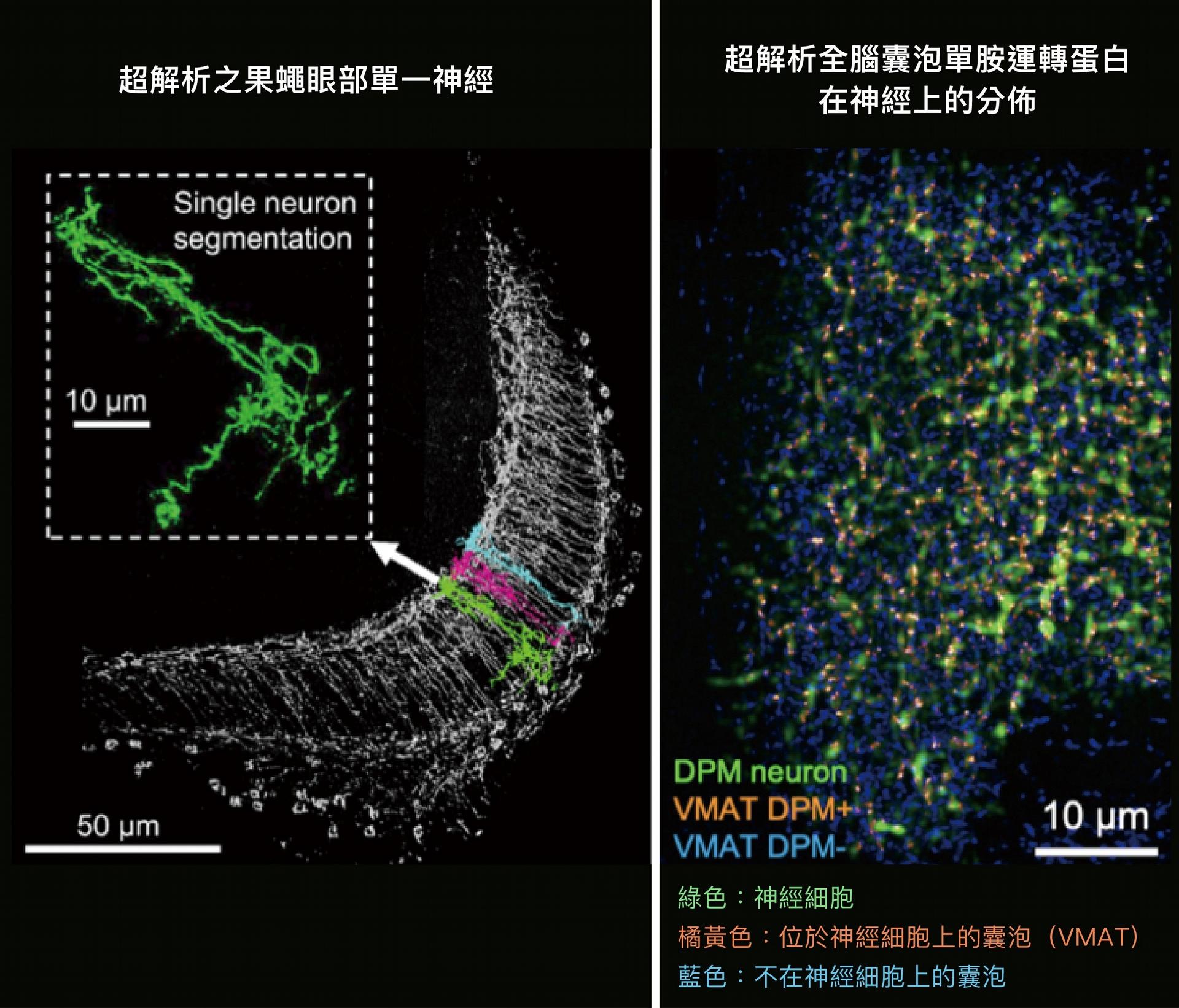 左圖是超解析之果蠅眼部單一神經,右圖是超解析全腦囊泡單胺運轉蛋白在神經上的分佈。 圖片來源│Rapid single-wavelength lightsheet localization microscopy for clarified tissue