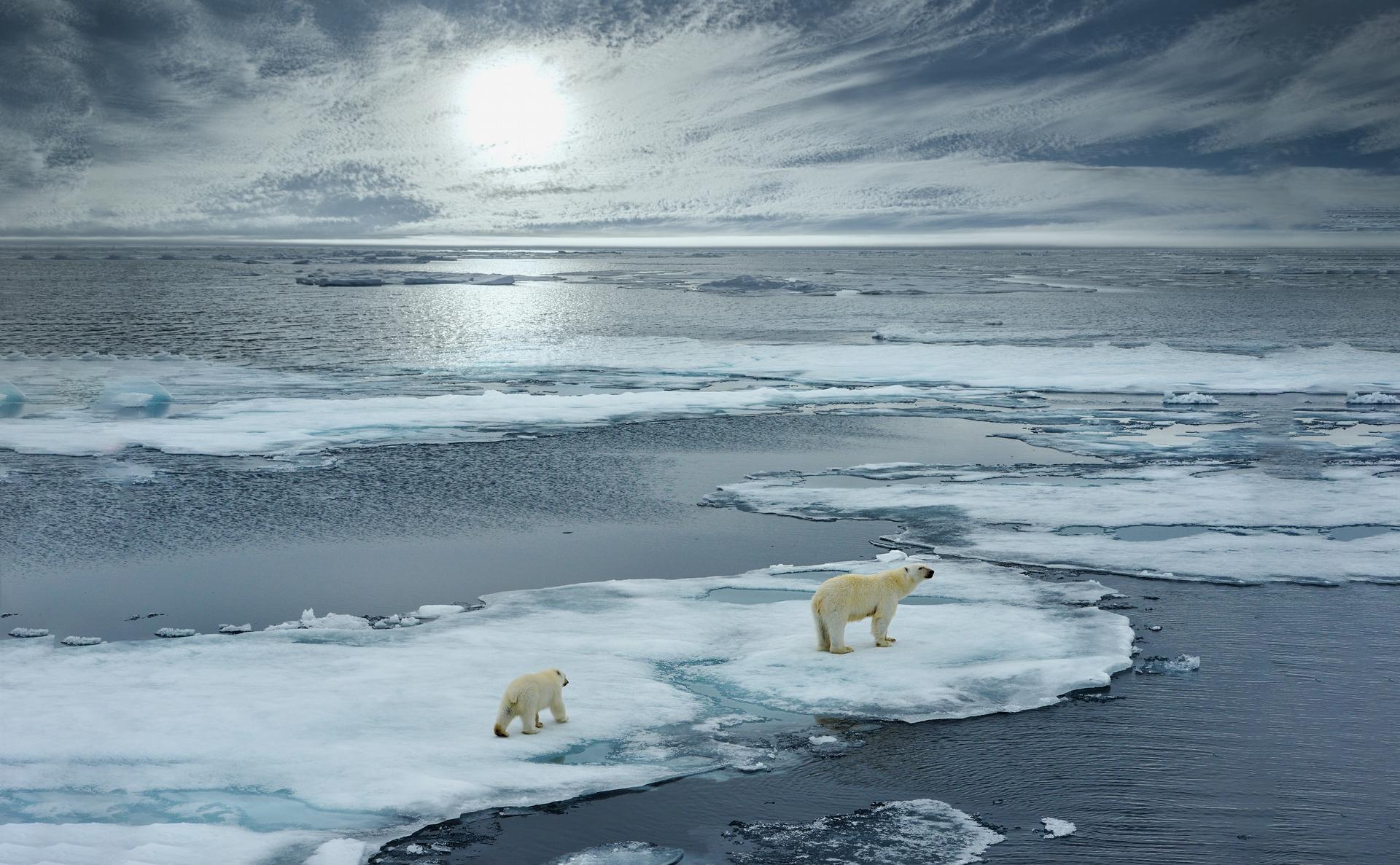 北極熊晃蕩於消融冰層,氣溫上升生存遭受威脅。