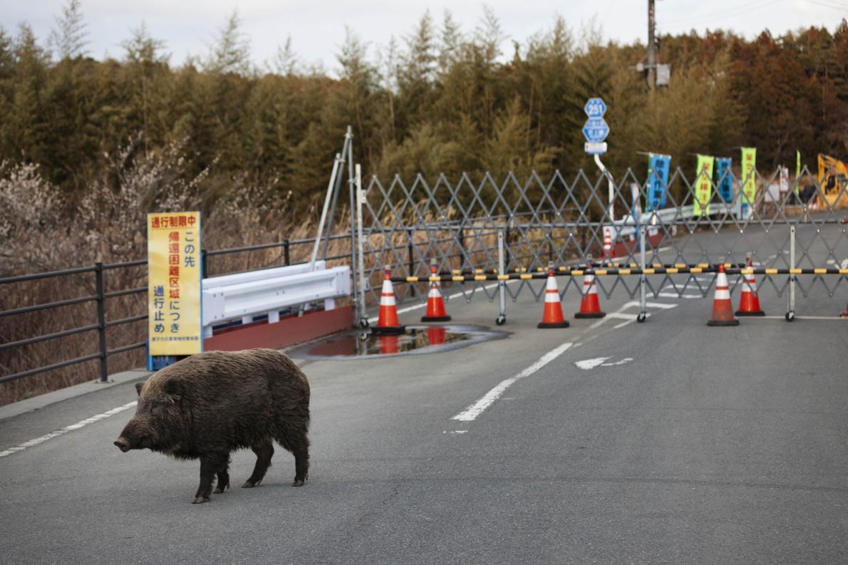 在福島第一核電廠周遭空蕩蕩的隔離區裡,一頭野豬漫步在路上,該核電廠因海嘯造成的爐心熔毁距今已經數年了。PHOTOGRAPH BY KO SASAKI, BLOOMBERG/GETTY