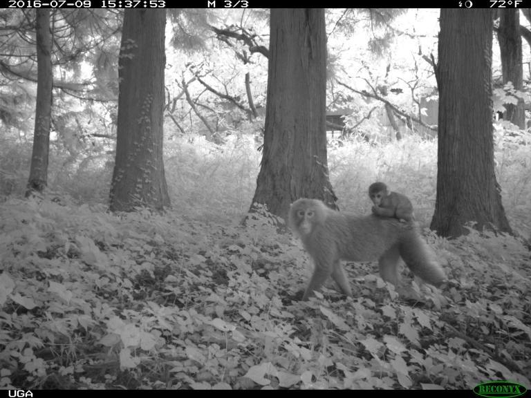 日本獼猴在福島禁區周圍區域的數量最多;輻射濃度似乎沒有影響牠們的棲息數量。PHOTOGRAPH BY JIM BEASLEY