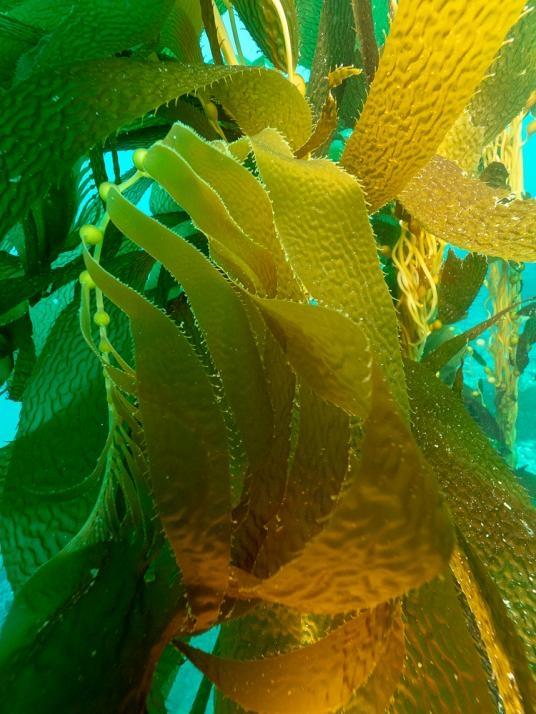 巨藻森林為許多物種提供掩蔽,例如灰鯨、海獺和鮑魚。PHOTOGRAPH BY MAURICE ROPER