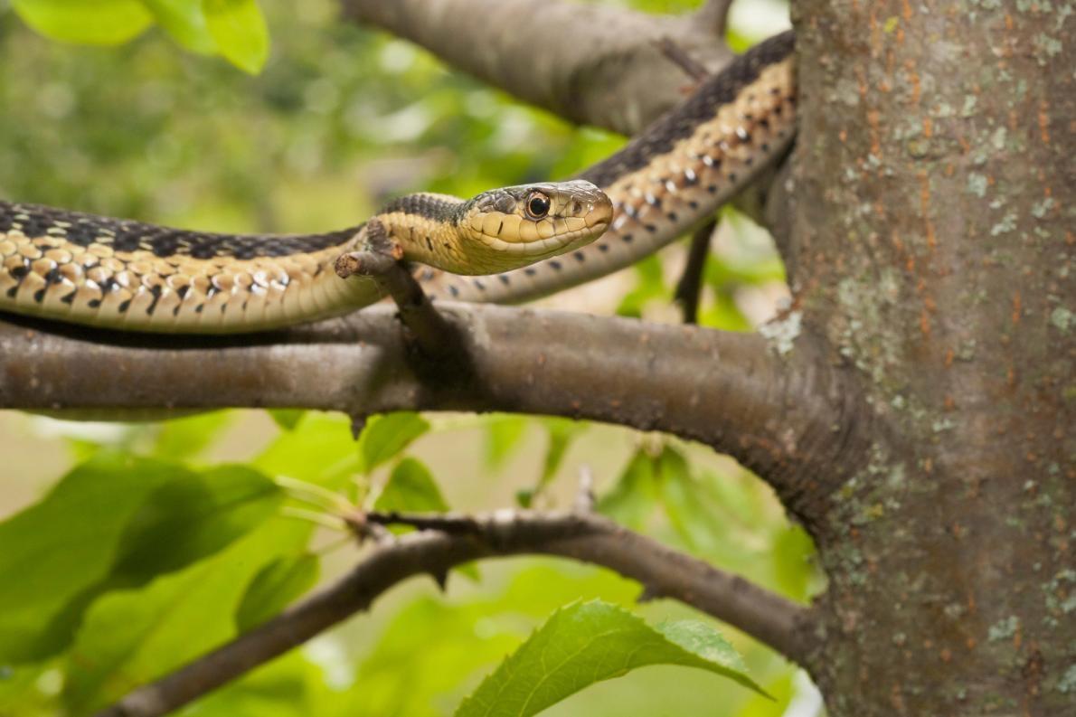 東部襪帶蛇是北美洲東部的原生種。PHOTOGRAPH BY MICHELLE GILDERS, ALAMY