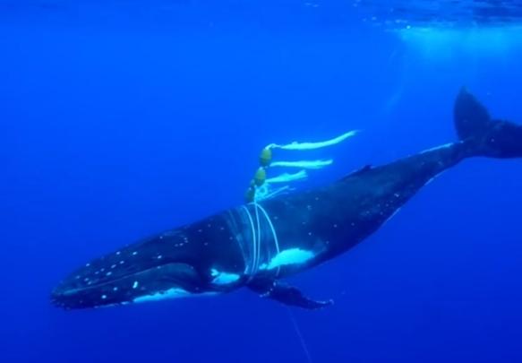 東加海域被漁網漁繩纏住身體及胸鰭的大翅鯨,Credit: Cole Harrison